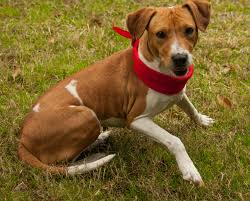 belgian shepherd vancouver vancouver bc beagle meet alyce a dog for adoption