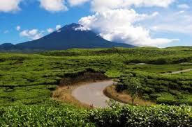 Teh Kayu Aro sejarah perkebunan teh kayu aro jambi