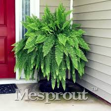 free shipping 100pcs japanese creeper boston fern seeds