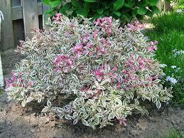 Flowering Shrubs For Partial Sun - 72 best flowers bushes shrubs zone 5 images on pinterest shrubs