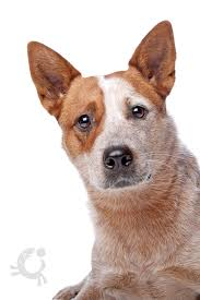 afghan hound kennel in australia australian cattle dog bauwow world