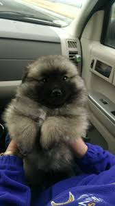 american eskimo dog growling my parents new puppy keeshond mixed with an american eskimo aww