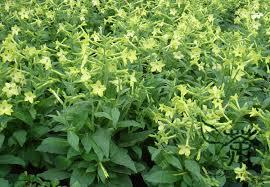 aliexpress buy tobacco nicotiana alata seeds 300pcs