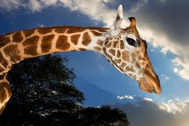 Drunk Giraffe Meme - what does the giraffe say scientists find the answer wired
