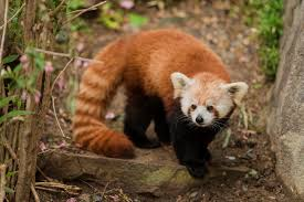 Lights At The National Zoo by Red Pandas Come Back To Zoo Smithsonian Insider