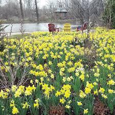 narcissus naturalizing mix narcissus at wayside gardens