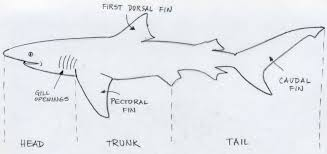 draw shark basic tutorial