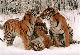 photo of the week siberian tiger cubs ifaw international fund