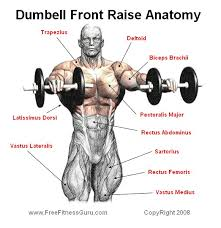 Front Of The Shoulder - dumbell front raise anatomy exercises anatomy