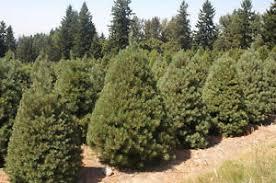 scotch pine christmas tree 500 scotch pine tree seeds pinus sylvestris christmas tree seeds