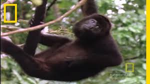 howler monkeys national geographic youtube