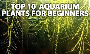 top 10 beginner aquarium plants u2013 cubby u0027s aquatics