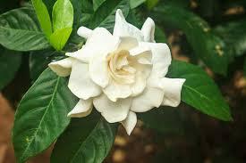 Fragrant Plants Florida - gardenia jasminoides cape jasmine