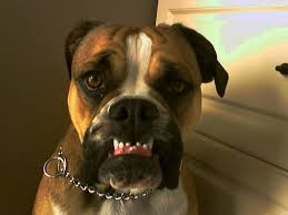 boxer dog gum problems boxer dog chewing and teething boxer dog info and health tips