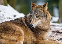 wolf looking back a wolf lying and looking back tambako the