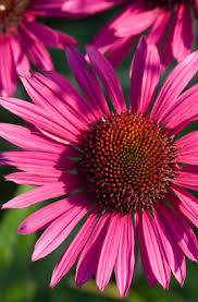 Echinacea Flower Rhs Advice U0026 Tips On Garden U0026 Indoor Plants Plant Finder