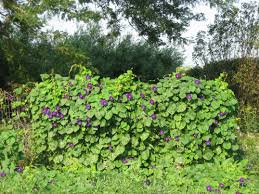 100 vine plants with purple flowers shrubs and perennials