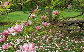 Magnolia Wallpaper by Flowers Magnolia Nature Pink Blossoms Hd Flower Garden Wallpaper