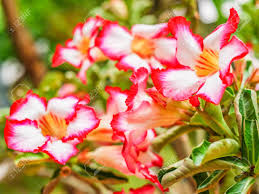 a tree with beautiful flower and auspicious name stock photo