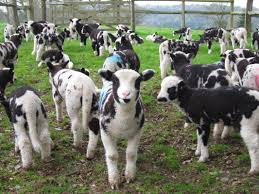 jacob u0027s stick trick with sheep goats u0026 cattle biblical foundations