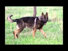 belgian shepherd malinois mix protection dogs german shepherd u0026 belgian malinois youtube