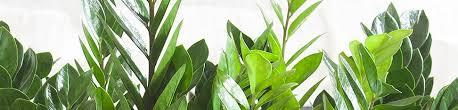 plant delivery z z plant delivery shop for zz plants online my city plants