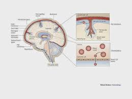 Blood Brain Barrier Anatomy Chaotically Precise Life Love And Melanoma Anti Pd1 In
