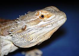 hatch colorful bearded dragon