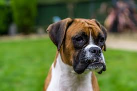 top 10 tips to keep your boxer dog happy u0026 healthy boxer dog breed