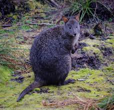 Hawaii wild animals images Pademelon in franklin gordon wild rivers national park tasmania jpg