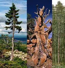 the oldest tallest widest and trees in the world i