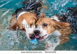 playful golden retriever labrador puppy swimming stock photo