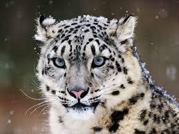 fantastic snow leopard tattoo