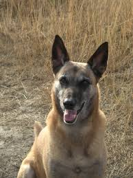 belgian shepherd us army the dog the storm and the love that comes from a thundershirt