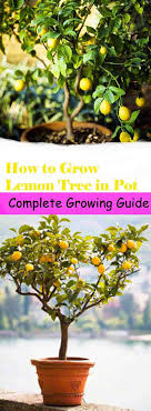how to grow a lemon tree in a pot trees in pots small gardens