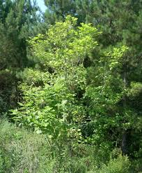 catalpa tree and its caterpillars