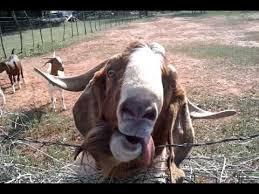 Billy Goat Meme - smelly billy goat goes crazy youtube