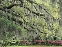 live oak tree draped with moss usa