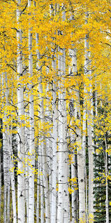 best 25 aspen trees ideas on pinterest birch forest photoshop aspen trees crested butte colorado they re even more spectacular in person