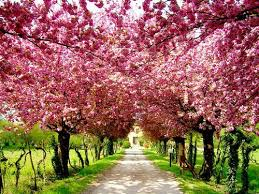 pink blossom trees on imgfave