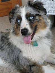 australian shepherd akc a self blue merle australian shepherd self blue merles have no