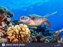 green sea turtle chelonia mydas swimming over a coral reef coral