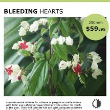 Non Invasive Climbing Plants - bleeding hearts mosarte