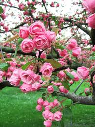 104 best flowering trees images on flowering trees
