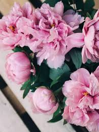 Peonies Delivery Gorgeous Pink U0026 White Peonies Flower Delivery Melbourne