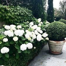 hydrangea white 25 best white hydrangeas ideas on annabelle hydrangea
