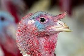 turkey farms prepare for thanksgiving photos and images getty images