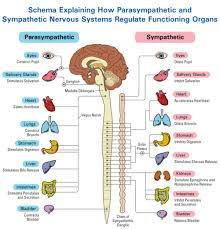 Anatomy And Physiology Nervous System Study Guide The Autonomic Nervous System Divide Parasympathetic And