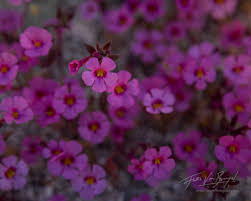 monkey flowers anza borrego ca art in nature photography