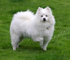 american eskimo dog vector american eskimo dog u2013 doghealth ca